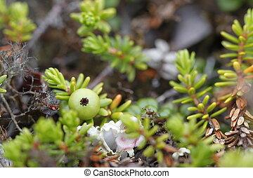 tundra, phase, arktisch, ihr, ledig, grün, crowberry