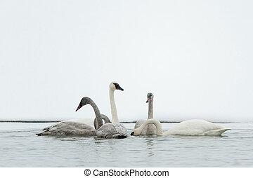Tundra Swan (Cygnus columbianus) - Tundra swans swim in the...