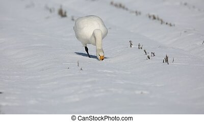 Tundra swan in Japan - Tundra swan (Cygnus columbianus) in...