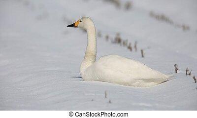 Tundra swan in Japan - Tundra swan (Cygnus columbianus) in...