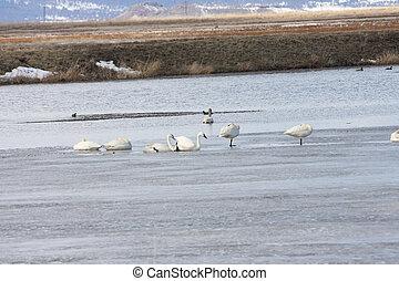 Tundra Swan @ Lower Klamath NWR