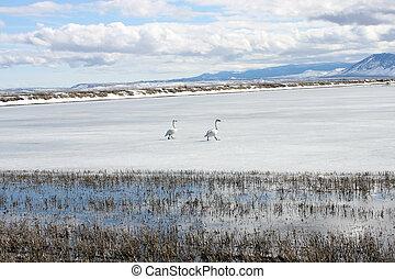 Tundra Swan.  Photo taken at Lower Klamath National Wildlife Refuge, CA.