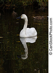 Tundra Swan  - White Tundra Swan, migratory bird close up