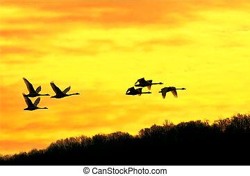 Tundra Swans at Sunrise