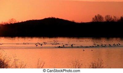 Tundra Swans at Sunrise - Tundra Swans flying at sunrise