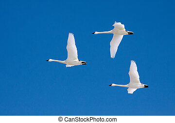 Tundra Swans flying in a clear blue winter sky.