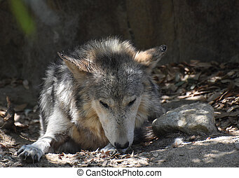 Tundra Wolf Licking His Paw While Resting