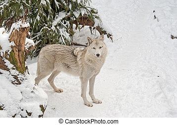 Tundra wolf on the snow - Tundra wolf (Canis lupus arctos)...