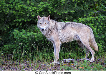 Tundra Wolf Standing in Front of a Bright Green Pine Forest
