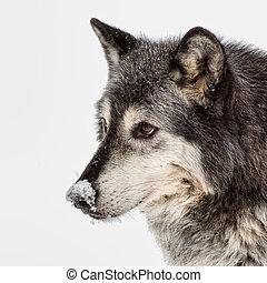 tundra wolf, vrijstaand, op wit, achtergrond