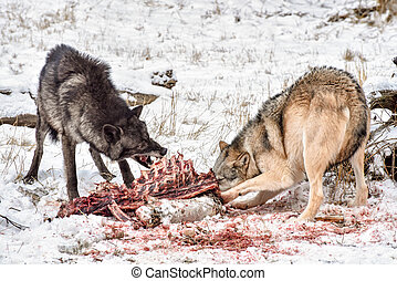 Tundra Wolves Feeding on and Elk Carcass in the Snow