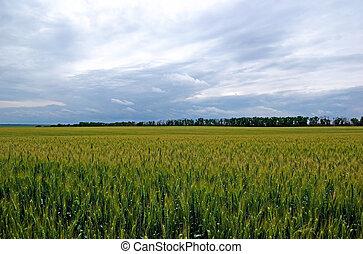 Tungsten summer field of green rye. Dramatic sky.