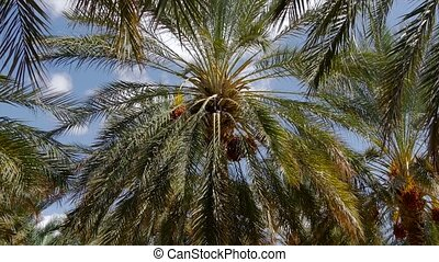 Tunisia, date palm cultivation - north africa typical...