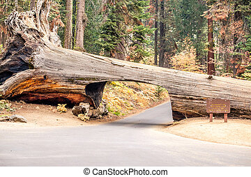 Tunnel Log in Sequoia National Park. California, United ...