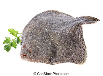 turbot - Scophthalmus maximus in front of white background