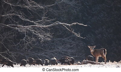Turkey and White-tailed Deer - Wild Turkey and White-tailed...