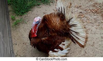 Turkey Bird Puffed up