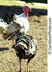 turkey-cocks in the village