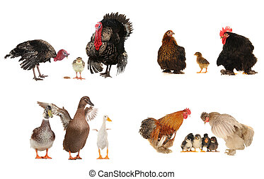 Turkey   - family turkey  isolated on a white background.