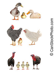 Turkey   - farming birds  isolated on a white background.