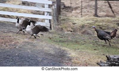 Turkey Pursueing Canadian Geese - These turkeys chase the...