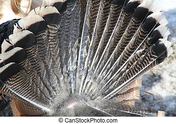 Turkey Tail Feathers - Tail feathers of a Tom Turkey spread ...