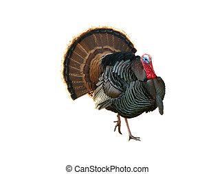 Turkey Tom strutting his stuff, isolated over white