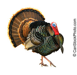 Tom strutting his stuff - Turkey Tom strutting his stuff ...