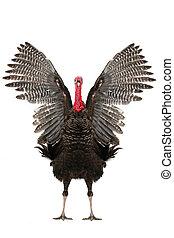 Turkey   - turkey-cock with rapushchenny wings