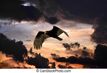 Turkey vulture flying in an onimous sky at sunset - Turkey...