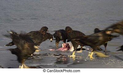 Turkey vulture in Falkland islands - Turkey vulture eating...