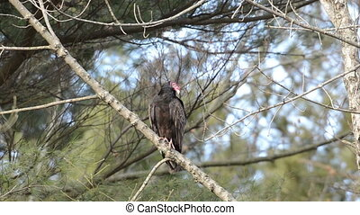 Turkey vulture perched in a tree - A turkey vulture perched...