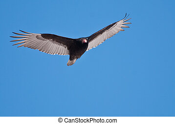 Turkey Vulture Soaring in a Blue Sky