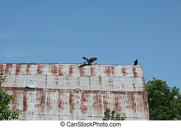 Turkey vultures on rooftop