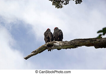 Turkey vultures on the tree in Tierra del Fuego, Patagonia, Argentina