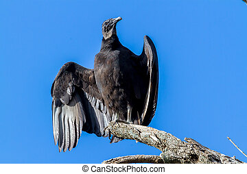 Turkey Vultures, or Buzzards