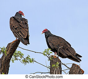 Turkey Vultures perched