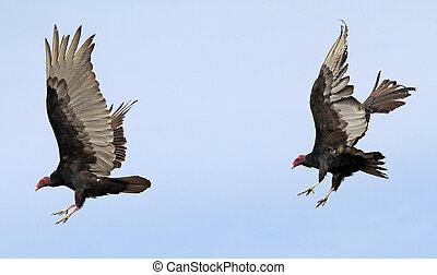 Turkey Vultures taking flight