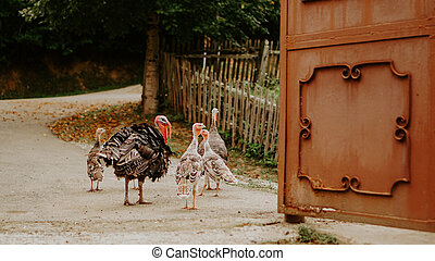 Turkeys birds in a traditional farm