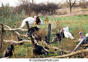 turkeys graze near a wooden fence in the village.