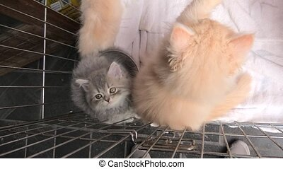 Turkish Angora cat in pet store - A red Turkish Angora cub...