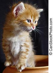 Turkish Angora Cat Kitten Of A Turkish Angora Cat