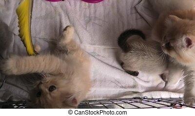 Turkish Angora cats playing - red Turkish Angora cubs...