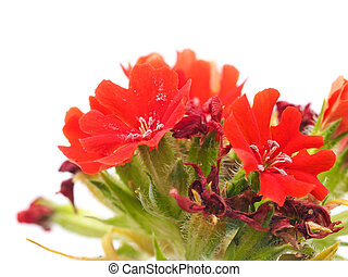Turkish carnation on a white background