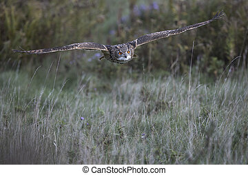 Turkmenian Eagle Owl - Turkemenian Eagle Owl with wings...