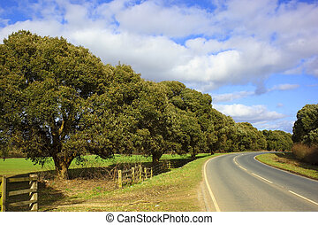turners evergreen oak - an avenue of turners oaks quercus...