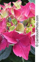 Turning pink - hydrangea