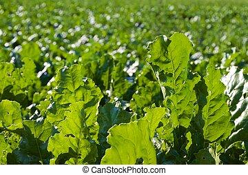 turnip field in the summer