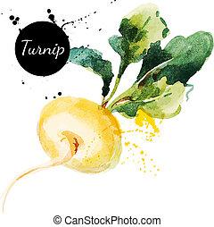 turnip., hand, getrokken, het schilderen watercolor, op wit,...