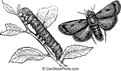Turnip moth or agrotis segetum. Agrotide affectation. -...